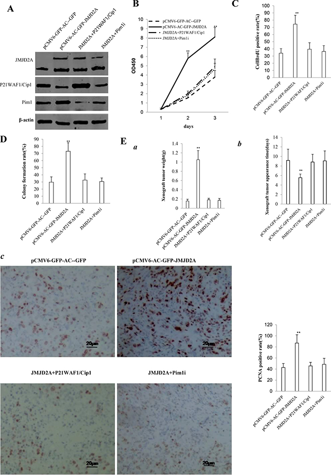 The rescued experiment of carcinogenesis effect of the JMJD2A in Hep3B cell lines transfected with pCMV6-AC-GFP, pCMV6-AC-JMJD2A (GFP-JMJD2A), pCMV6-AC-GFP-JMJD2A plus pcDNA3.1-P21WAF1/Cip1, pCMV6-AC-JMJD2A puls pGFP-V-RS-Pim1.