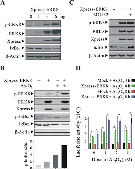 ERK8 promotes the phosphorylation and degradation of IκBα.
