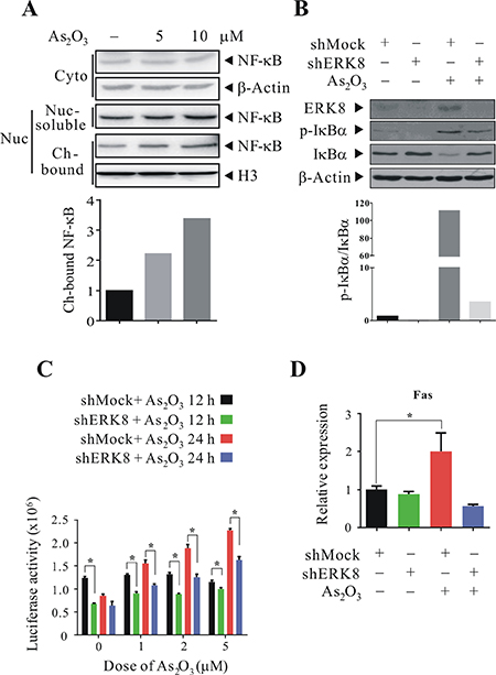 ERK8 promotes the phosphorylation and degradation of IκBα, as well as nuclear translocation of NF-κB in human lung cancer cells.