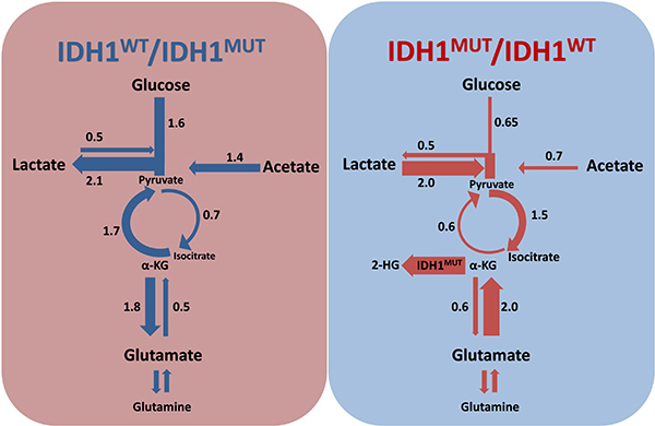 Rewiring of metabolism by IDH1MUT.