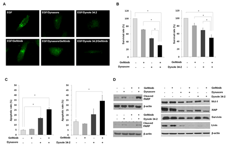 Evaluation of the anti-proliferative effects of EGFR endocytosis inhibitors