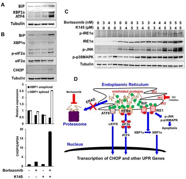 Dual bortezomib and K145 treatment induces synergistic ER stress.