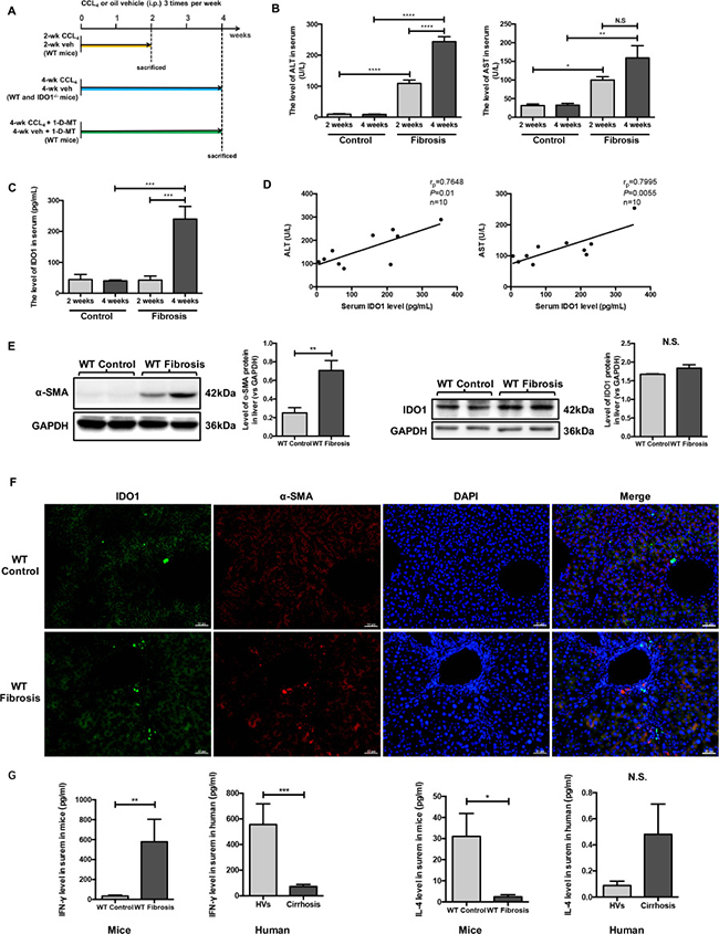 Serum IDO1 was time-dependently elevated in a CCl4-induced fibrosis mouse model and positively correlated with liver lesions.