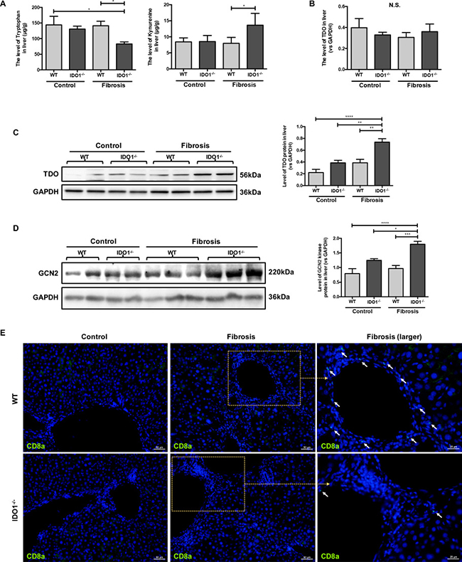 IDO1 deficiency elevated the expressions of TDO and GCN2 kinase during liver fibrosis.