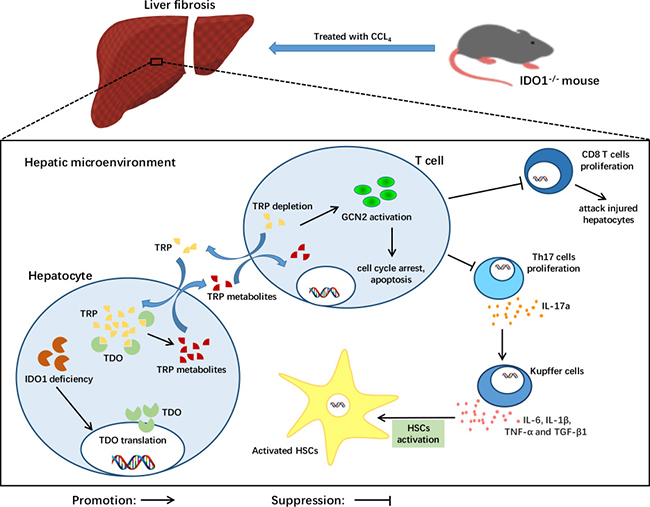 A model depicting the key role of IDO1 deficiency in the pathogenesis of CCl4-induced liver fibrosis.