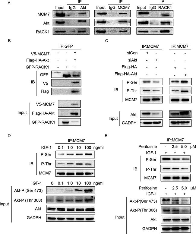 Akt regulates MCM7's phosphorylation.