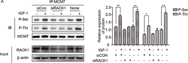 RACK1 is required for the interaction between Akt and MCM7.