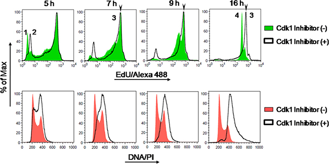 Intensity maxima of EdU-coupled fluorescence correspond to labeling for a single full S phase.