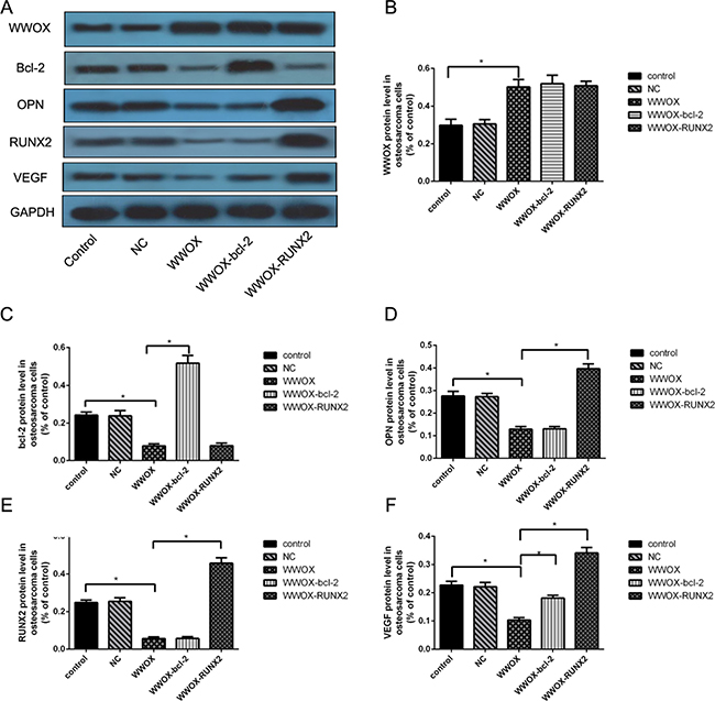 Regulatory cascade involving WWOX, bcl-2, OPN, RUNX2, and VEGF in MG-63 cells.