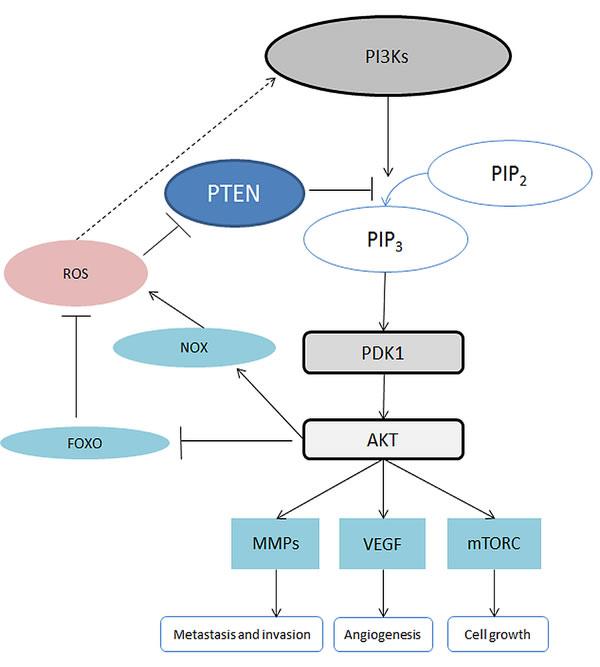 Schematic of the PI3K/AKT signalling pathway.