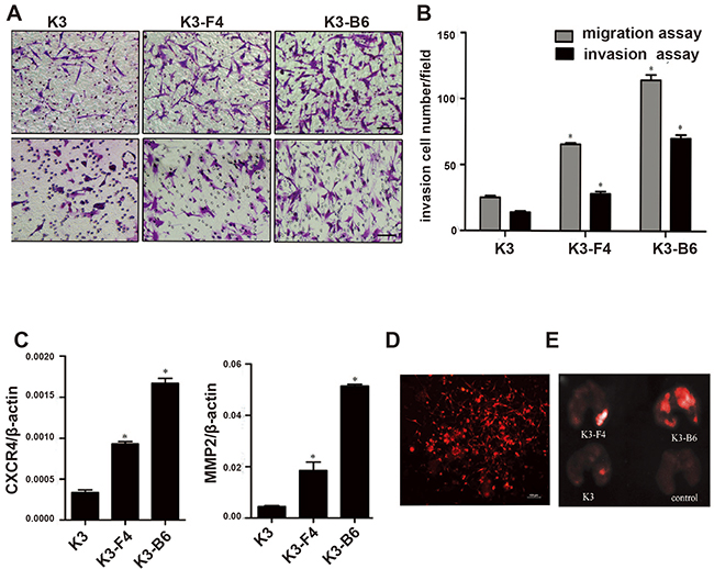 K3 metastatic cell lines induced higher metastatic and invasive potential.
