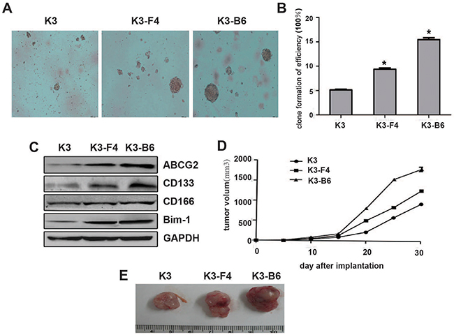 K3-F4 and K3-B6 exhibited increased tumorigenicity and stemness.
