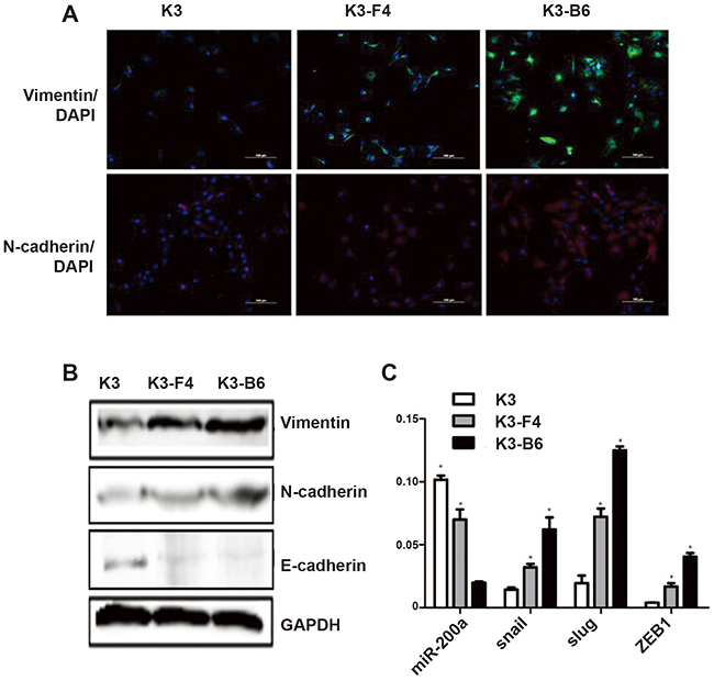 EMT induced transformation of K3 into K3-F4 and K3-B6 by upregulating the stemness and metastatic capacity of K3.