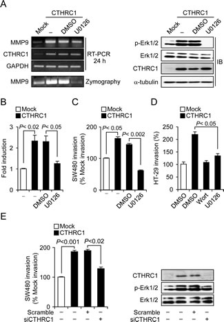 CTHRC1 promotes invasion of SW480 cells through activation of the MEK-ERK signaling pathway.
