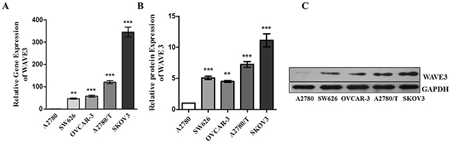 The expression of WAVE3 was compared in five types of ovarian cancer cell lines.