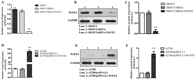 Stable cells SKOV3/shRNA-WAVE3 and A2780/pcDNA 3.1-WAVE3 were constructed.