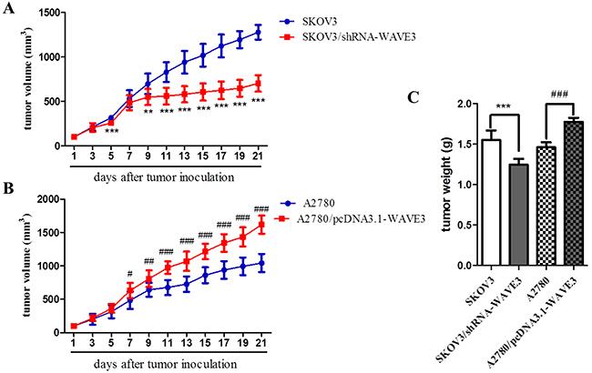 Tumorgenicity of SKOV3/shRNA-WAVE3 and A2780/pcDNA3.1-WAVE3 xenograft model in athymic nude mice.