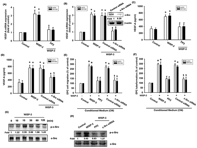 The c-Src pathway is mediated in WISP-3-induced VEGF-A production and angiogenesis.