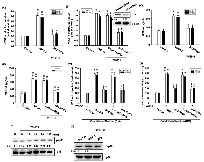 p38 activation is mediated in WISP-3-induced VEGF-A production and angiogenesis.