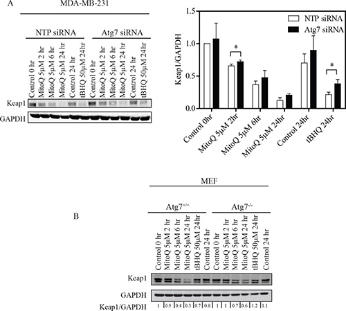 Depletion of Atg7 inhibits Keap1 degradation in breast cancer cells and MEF. (A)
