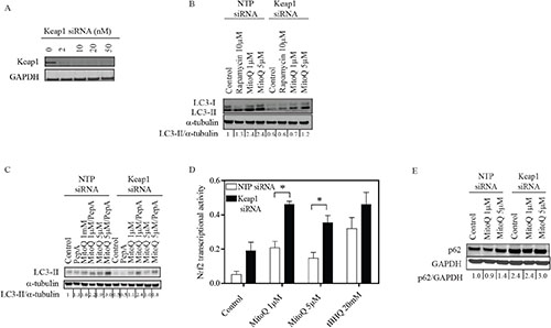 Depletion of Keap1 reduces MitoQ-induced autophagy and increases transcriptional activity of the antioxidant Nrf2.