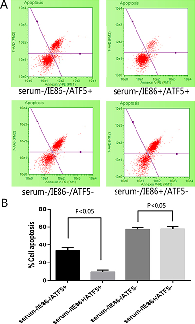Apoptosis detection following treatment with serum deprivation and IE86 expression in ATF5 (+/