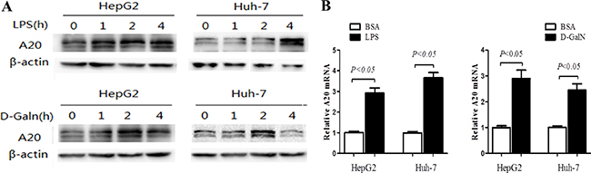 A20 expression is induced by LPS and D-GalN in hepatocytes.