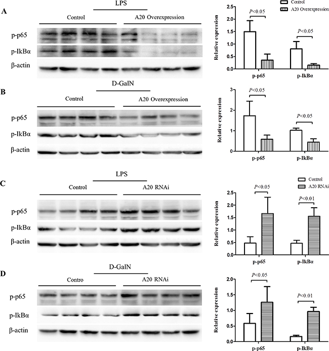 A20 negatively regulates the activation of NF-κB.