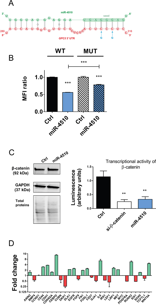 miR-4510 directly binds GPC3 3'UTR and inhibits Wnt/β-catenin signaling pathway.