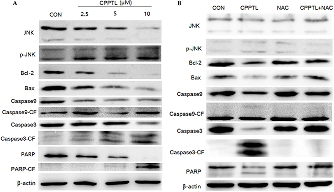 JNK activation contributed to CPPTL-induced apoptosis of AML cells.