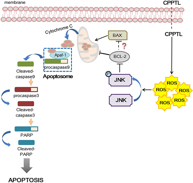 Hypothesized model of hierarchical signaling events leading to apoptosis of AML cells after treatment with CPPTL.