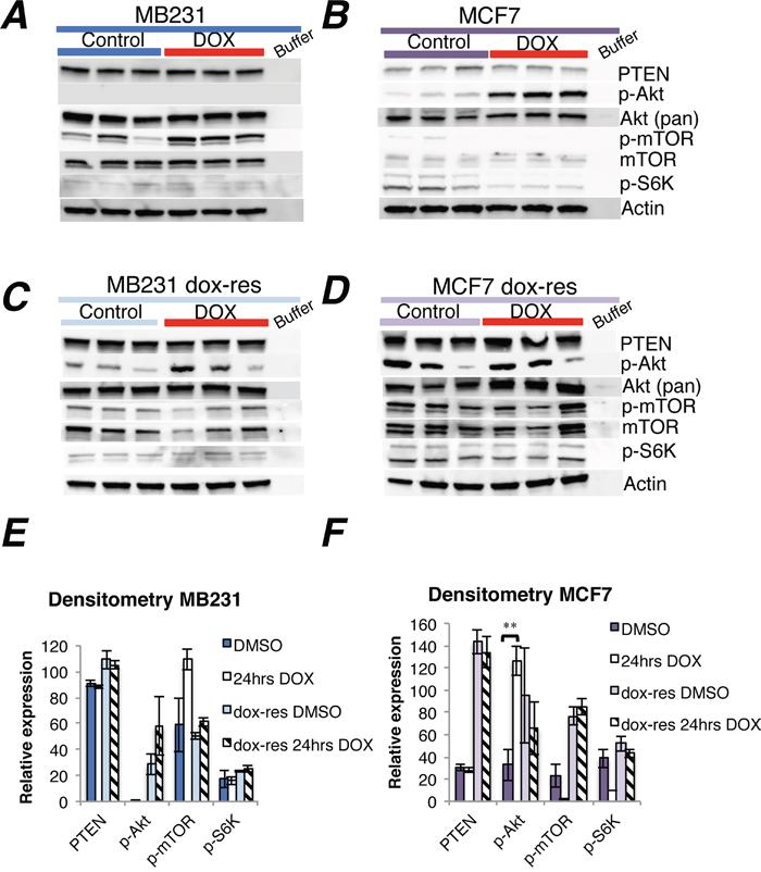Doxorubicin treatment of doxorubicin-naïve and doxorubicin-resistant human breast cancer cell lines.