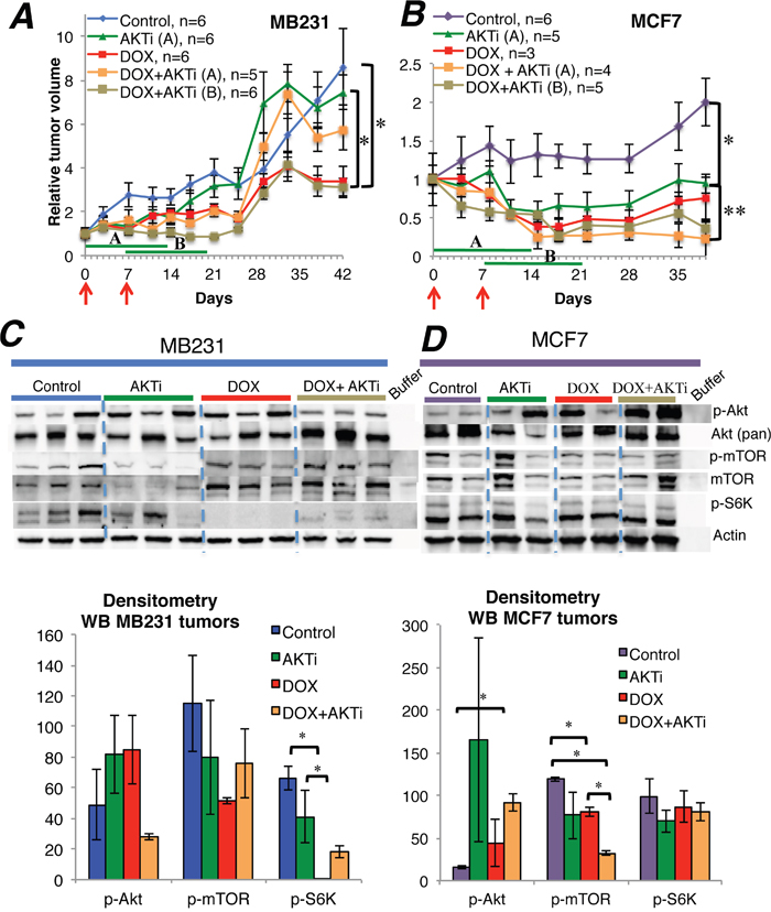 The influence of A-443654 and doxorubicin on tumor growth in vivo.
