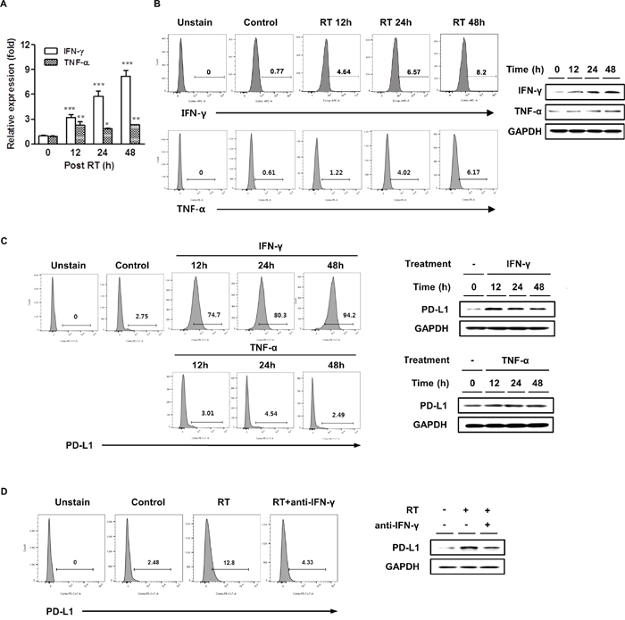 Radiation increased IFN-γ and TNF-α expressions and IFN-γ was correlated with radiation-induced PD-L1 expression in HCC cells.