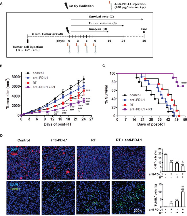 Combination of anti-PD-L1 and radiation increased antitumor effect in murine HCC model.