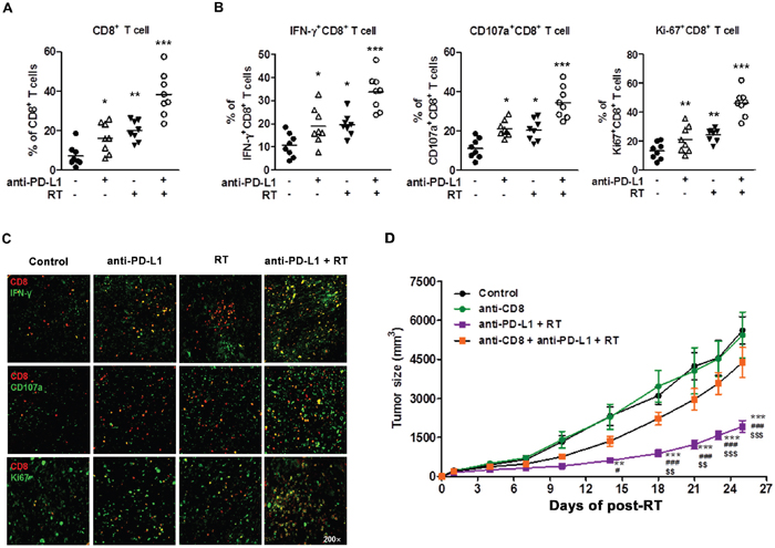 Combination of anti-PD-L1 and radiation increased infiltration of CD8+ T cells into the tumor and restored CD8+ T cell functions.