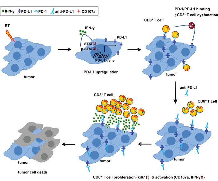 Schematic diagram of proposed mechanism for tumor destruction induced by RT and PD-L1 blockade.