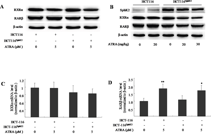 Sphk2 enhances the ATRA-induced degradation of RARβ and RXRα in HCT-116Sphk2 cells.