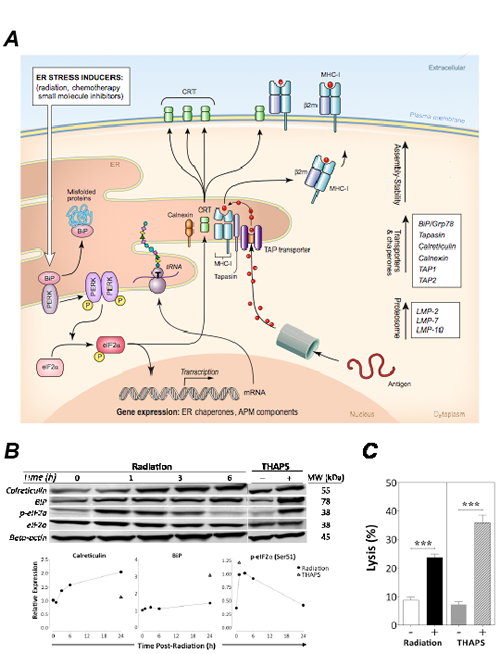 Radiation-induced immunogenic modulation of MDA-MB-231 carcinoma cells is mediated by ER stress.