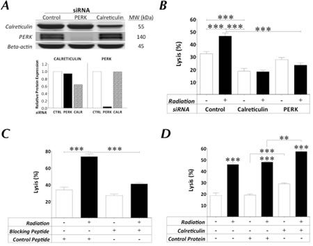 Expression of surface calreticulin in tumor cells exposed to sublethal radiation dictates increased sensitivity to CTL-mediated lysis.