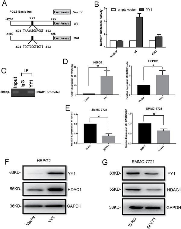 Effect of YY1 on HDAC1 expression.