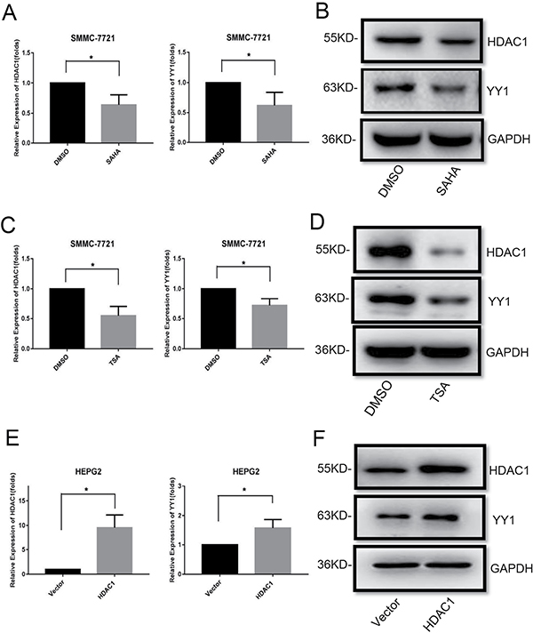 Effects of HDACi and HDAC1 on YY1 expression.