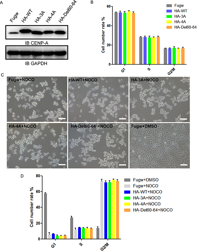 The effect of CENP-A mutants on cell cycle and mitotic arrest.