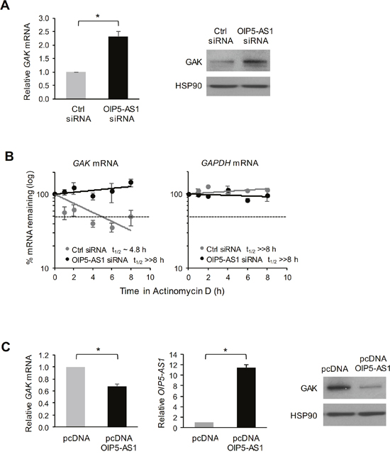 Impact of OIP5-AS1 on GAK mRNA stability and GAK protein expression levels.