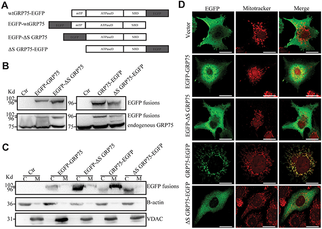 Signal peptide directed GRP75 expression-trafficked into mitochondria.