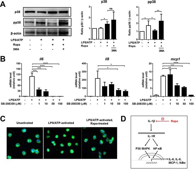 Rapamycin inhibits p38 MAPK-NFκB pathway.