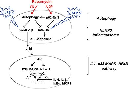 Graphic summary of rapamycin-mediated macrophage modulation.