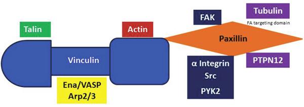 Vinculin and Paxillin binding.