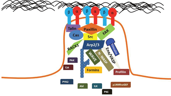 Key proteins are localized to mature FAs.