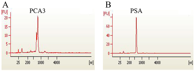 Recombinant expression of PCA 3 and PSA genes.